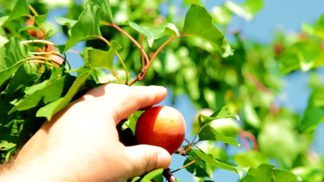 Picking Apricot video