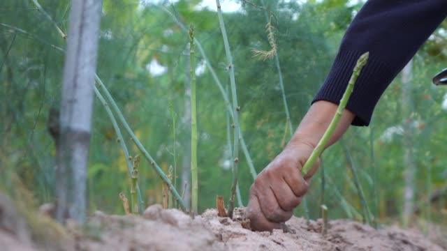 ピッキング アスパラガス スローモーション - 収穫点の映像素材/bロール
