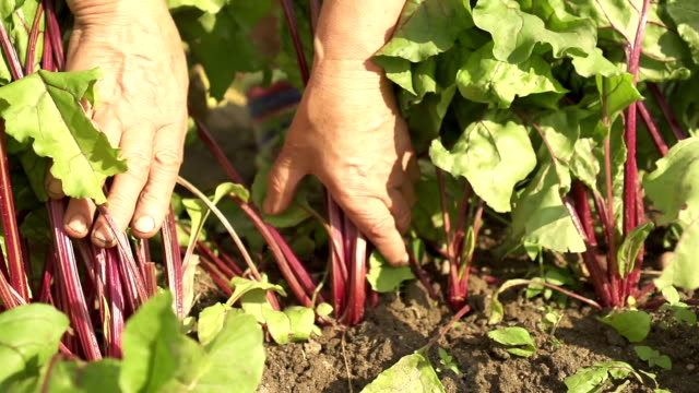 Picking Beets video