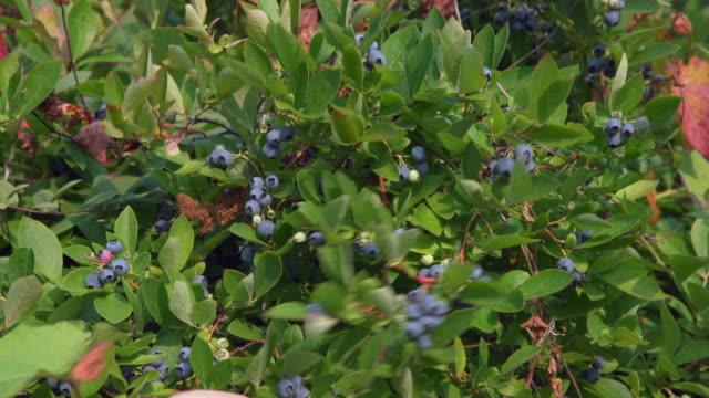 Picking Blueberries 4K. UHD video