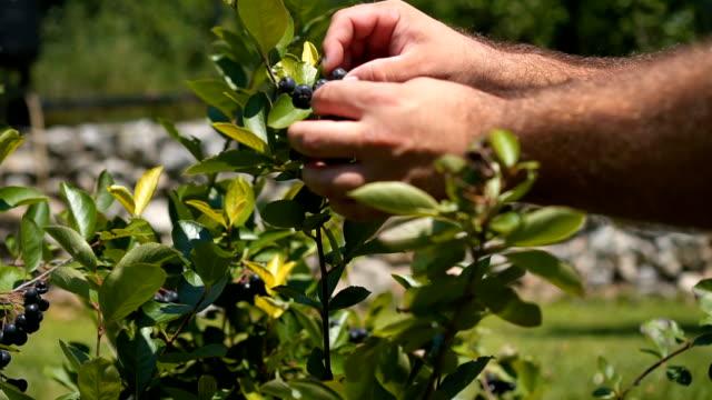 vídeos de stock e filmes b-roll de picking blueberries - picking fruit