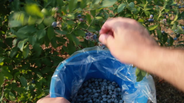 Picking blueberries (HD) video