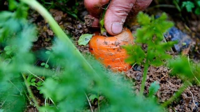 Picking carrot in field Farmer harvesting carrot in field carrot stock videos & royalty-free footage
