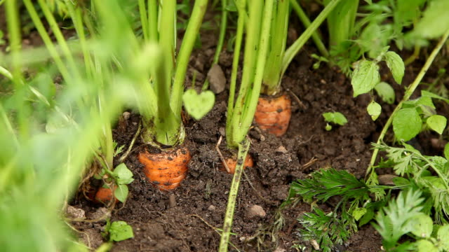 Pflücken carrot – Video