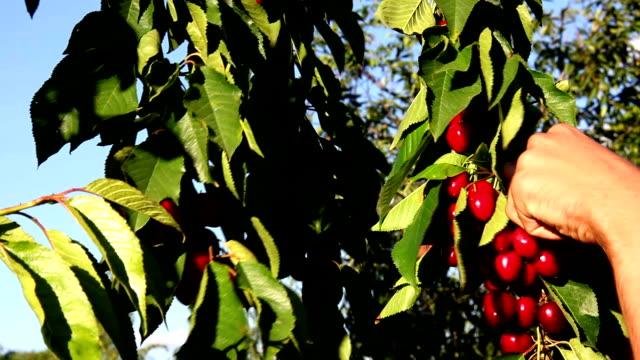 Picking Cherries Closeup