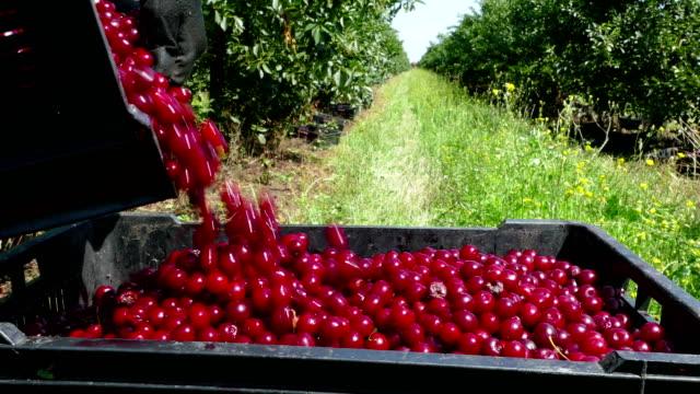 vídeos y material grabado en eventos de stock de recolección cherries en el restaurante orchard - huerto