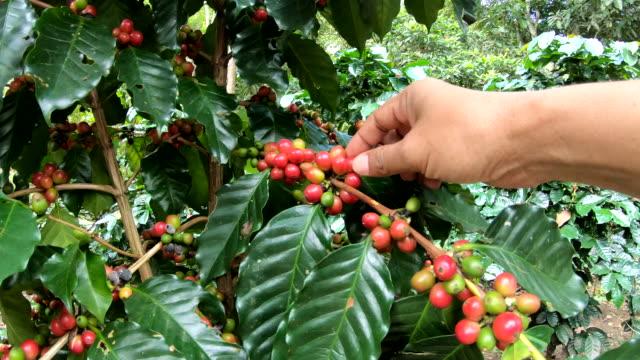 kommissionierung kaffeebohne auf baum-slow-motion - rohe kaffeebohne stock-videos und b-roll-filmmaterial