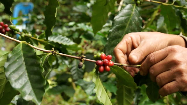 Picking coffee video