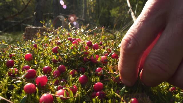 picking cranberries - дикая растительность стоковые видео и кадры b-roll