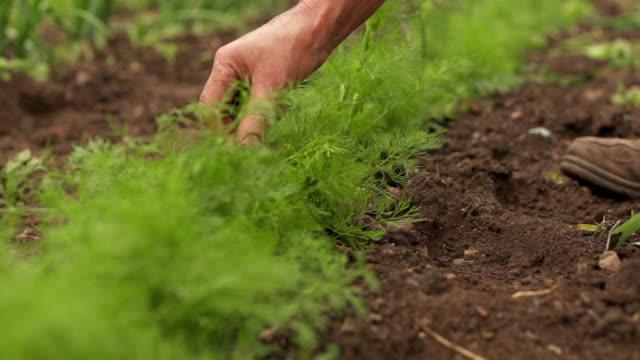 stockvideo's en b-roll-footage met picking fennel - venkel