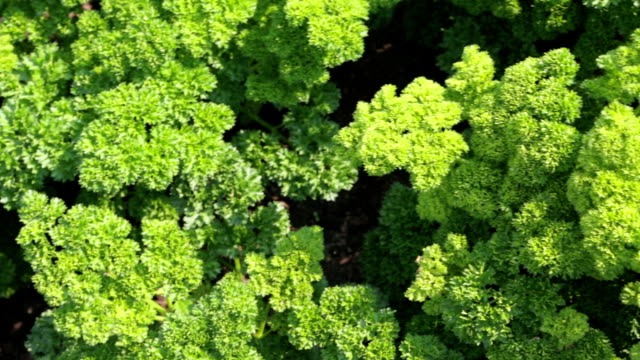 Picking fresh parsley from the land video