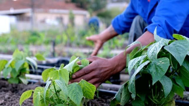 picking fresh vegetables - gardening video stock e b–roll