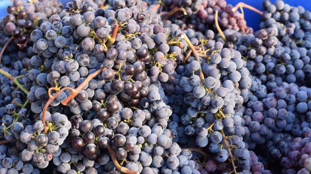plocka druvor i vingård, säsongsarbete inom jordbruket - wine box bildbanksvideor och videomaterial från bakom kulisserna
