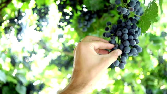 Picking grapes video