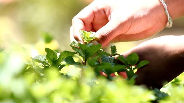 Picking kitchen mint video