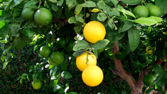 Picking lemons from tree video