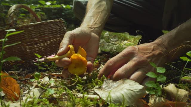 plocka svamp kantareller i skogen - höst plocka svamp bildbanksvideor och videomaterial från bakom kulisserna