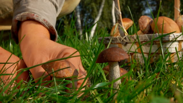 plocka svampar i skogs gläntan - höst plocka svamp bildbanksvideor och videomaterial från bakom kulisserna