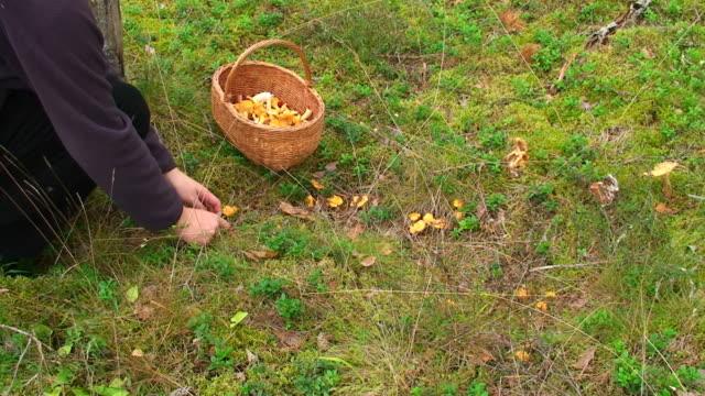 picking mushrooms - höst plocka svamp bildbanksvideor och videomaterial från bakom kulisserna
