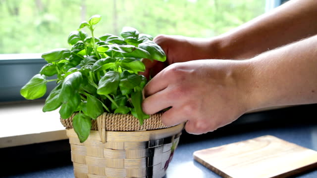 picking of basil picking some leaves of a nice green basil plant  basil stock videos & royalty-free footage