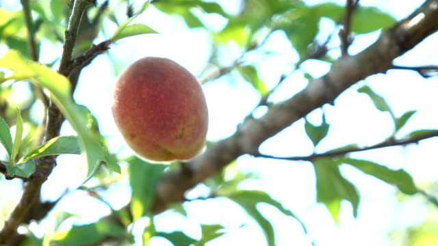 Picking peach slow motion Picking peach slow motion peach stock videos & royalty-free footage
