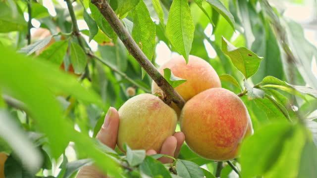 pfirsiche pflücken - nahaufnahme von hand und pfirsichen - peach stock-videos und b-roll-filmmaterial