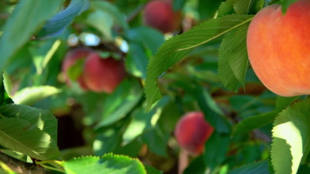 Picking peaches from the tree Picking ripe peaches from the tree peach stock videos & royalty-free footage