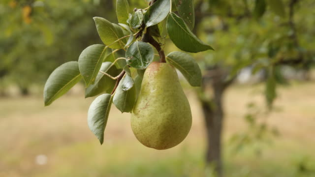 Picking pear Picking pear pear stock videos & royalty-free footage