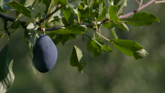 vídeos de stock e filmes b-roll de picking plum from tree in the orchard - picking fruit