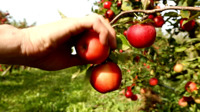 Rote Äpfel Kommissionierung am Obstgarten – Video