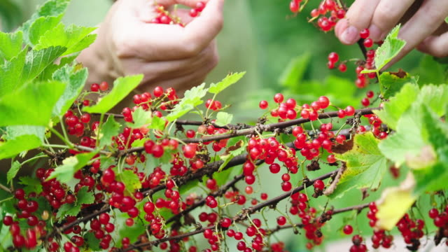 picking red currants - ribes rosso video stock e b–roll