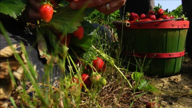 Picking Strawberries video