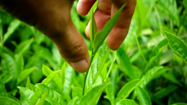 picking tea leaf - naturopathy stock videos and b-roll footage