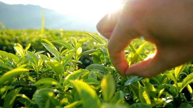 vídeos de stock, filmes e b-roll de escolhendo folhas de chá - plantação
