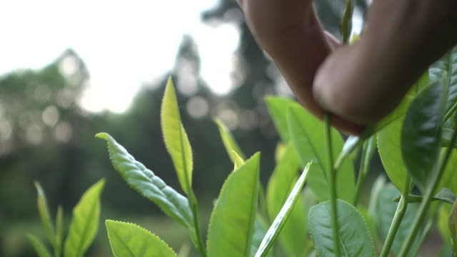 picking tea leaves video