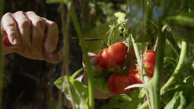 vídeos de stock e filmes b-roll de picking tomatoes greenhouse - picking fruit