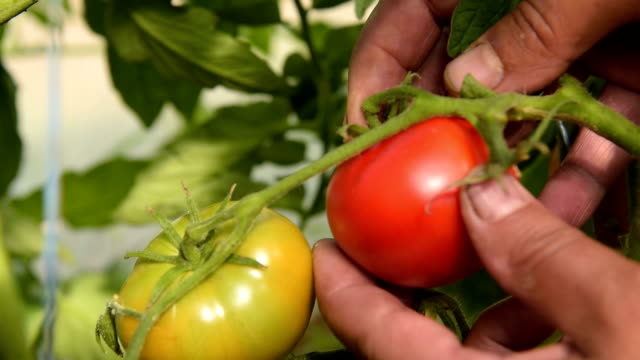 Picking tomatoes in warm house video