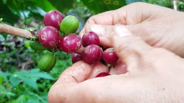 picking up coffee from colombia on the farm - coffee farmer video stock e b–roll