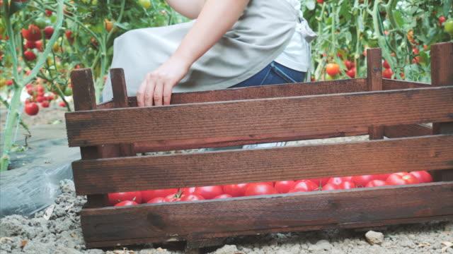 vídeos de stock e filmes b-roll de picking up fresh tomatoes for my customers. - engradado