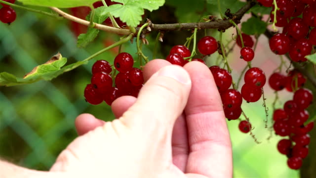 picking up wet, juicy and ripe redcurrants hanging on a bush drenched in rain. - ribes rosso video stock e b–roll