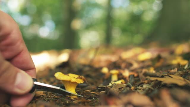 plocka vilda kantareller i soliga skog - höst plocka svamp bildbanksvideor och videomaterial från bakom kulisserna