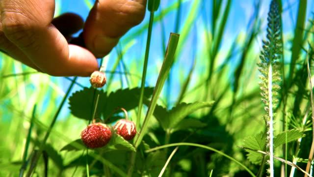 vídeos de stock, filmes e b-roll de colhendo morangos selvagens. - sem cultivo
