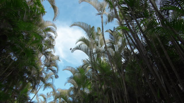 Picture of bamboo forest. View on the windy bamboo forest, clear sky, and the clouds