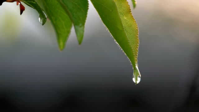 picturesque scene of a young green leaf apricots tree after the rain in the setting sun. raindrops water on the branch in the spring or in the summer - albicocca video stock e b–roll
