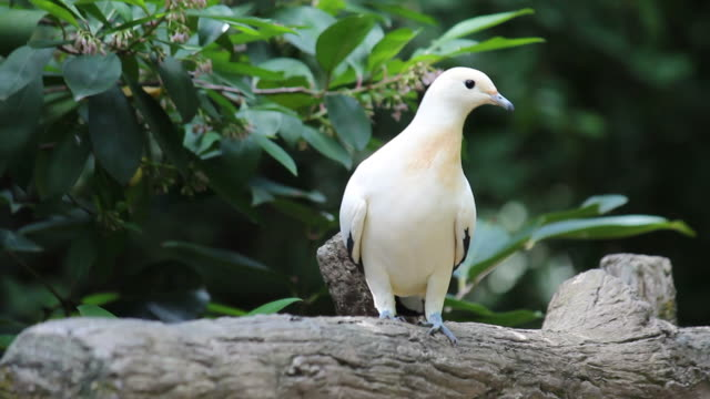 Pied Imperial Pigeon video