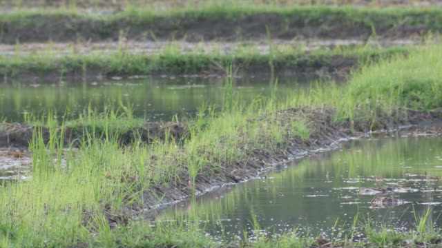 pied myna seeking for food in the field a pied myna bird is seeking for food in the paddy field animal limb stock videos & royalty-free footage