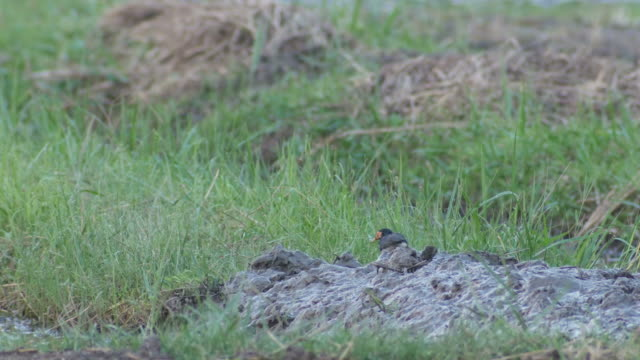 pied myna walking in the field a pied myna bird is walking in the paddy field animal limb stock videos & royalty-free footage