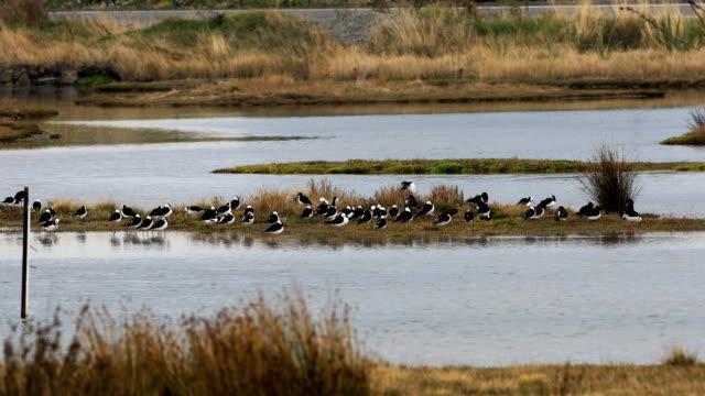 Himantopus leucocephalus, in de wetlands video