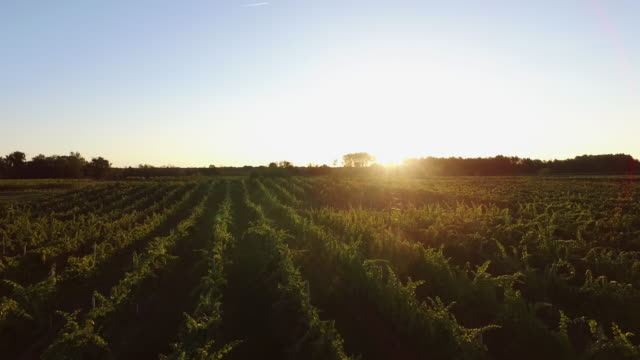 piedmont vineyard at sunset - italian food stock videos & royalty-free footage