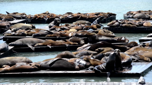 Pier 39 sea lions, San Francisco, California, USA video